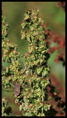 Rumex obtusifolius - patience à feuilles obtuses, oseille sauvage 35875678964_2d597793ce
