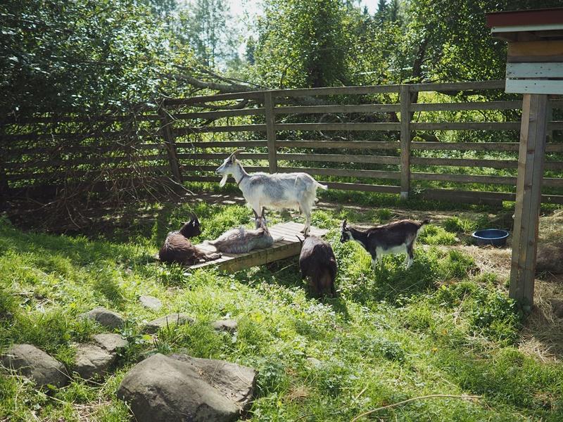 kuopion-kotieläinpuisto-vuohet