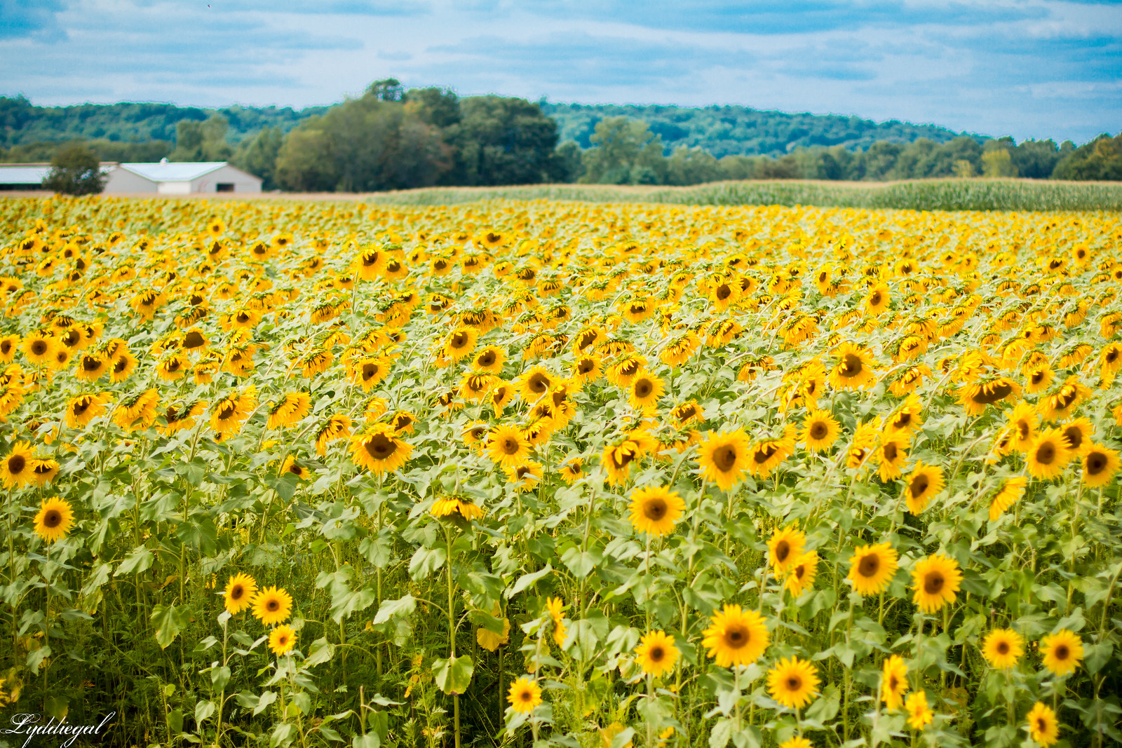 sunflower field north branford ct