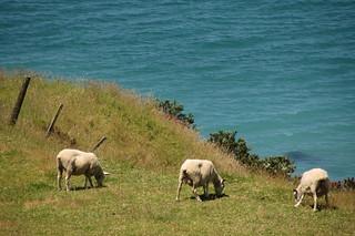 Sheep in Mount Maunganui
