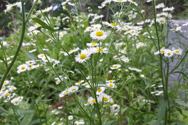 up-close view from the side of many fleabane plants