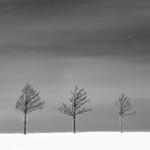 Hokkaido trees