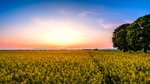 croatia tree zagreb field flowers landscape nature outdoor outside rapeseed spring sundown sunset wide yellow