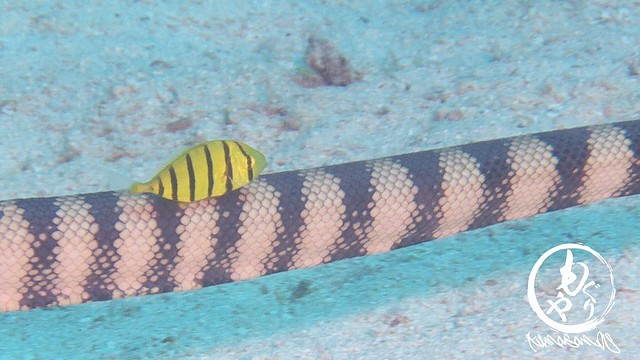 ウミヘビにくっつくコガネシマアジ幼魚ちゃん♪