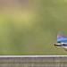 Sacred Kingfisher 59
