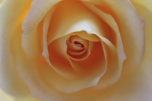 Rosa amarela.
