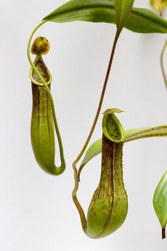 Nepenthes copelandii Apo and zygon Pasian