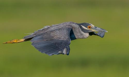Yellow Crowned Night Heron in flight