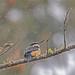 Sacred Kingfisher 63