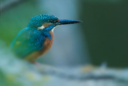 Martin-pêcheur d'Europe Alcedo atthis - Common Kingfisher