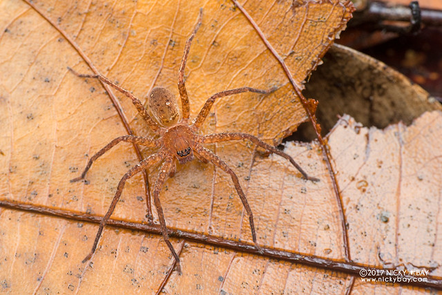 Huntsman spider (Heteropoda sp.) - DSC_8082