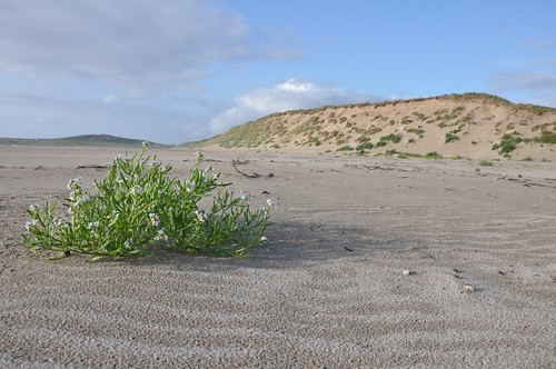 Machir Bay Sea Rocket