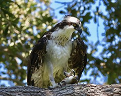 Osprey in the Old Oak Tree with a Mangrove Snapper