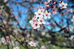 2017 Cherry Blossoms 1