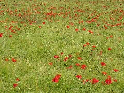 35 poppyfield