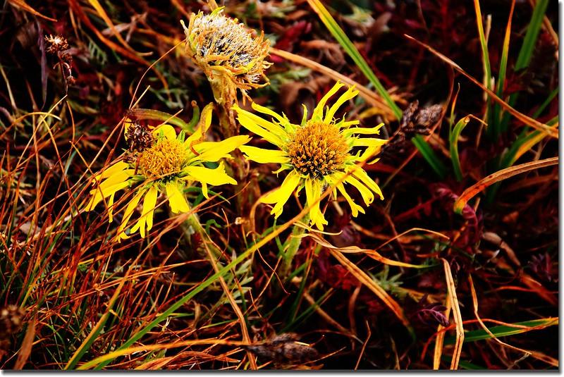 Alpine Sunflower (Old Man of the Mountain) 3