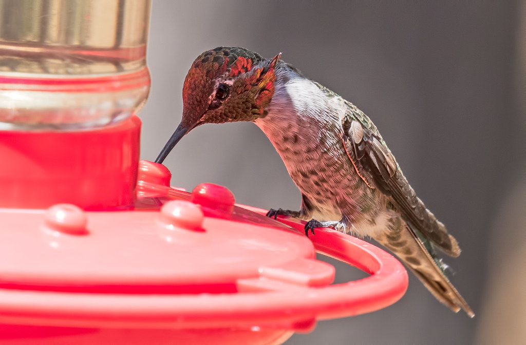 Broad--Tailed-Hummer-2-7D2-070517