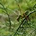 Leptophyes punctatissima (m)