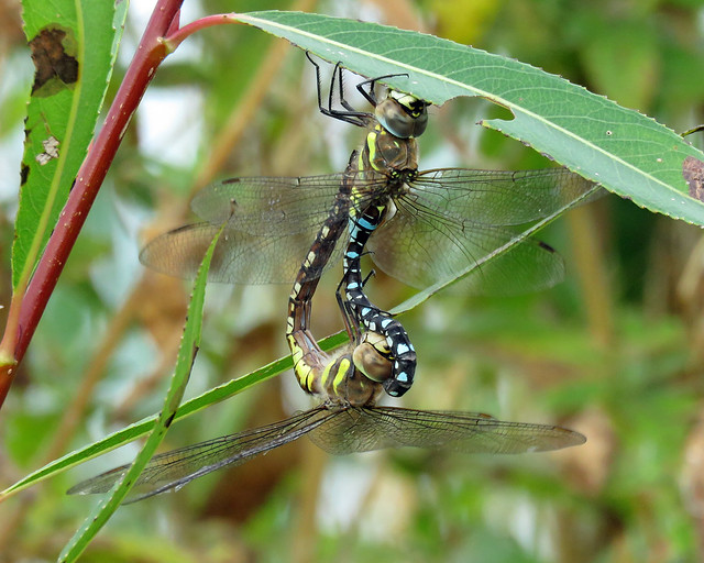 Migrant Hawker - Aeshna mixta