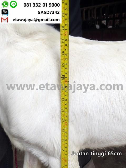 jantan-65cm-13-20171001