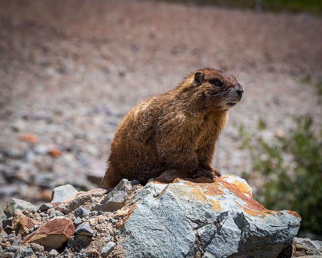 Roadside Marmot
