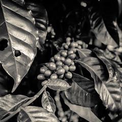 Sepia coffee