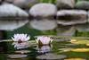 Two small waterlilies in the garden - Norway by Ingunn Eriksen