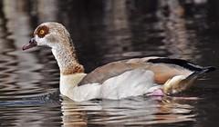 Egyptian goose Bushy Park
