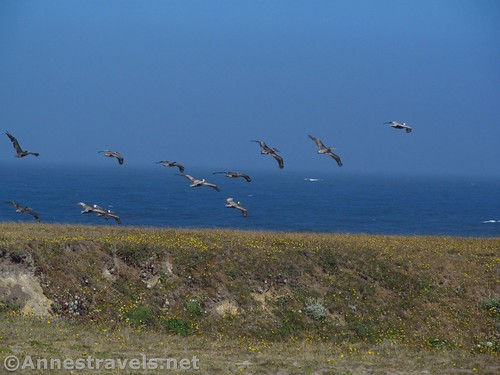 Pelicans take flight at Point Arena-Stornetta National Monument, California