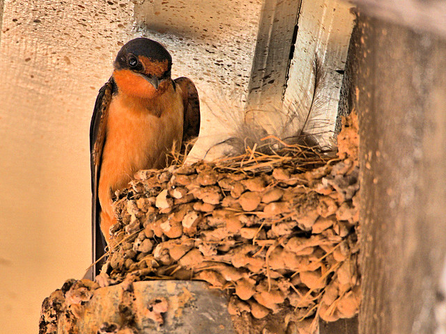 Barn Swallow at nest 03-20170814