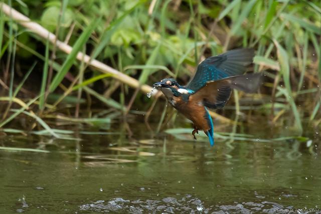 20170913-kingfisher-DSC_3461