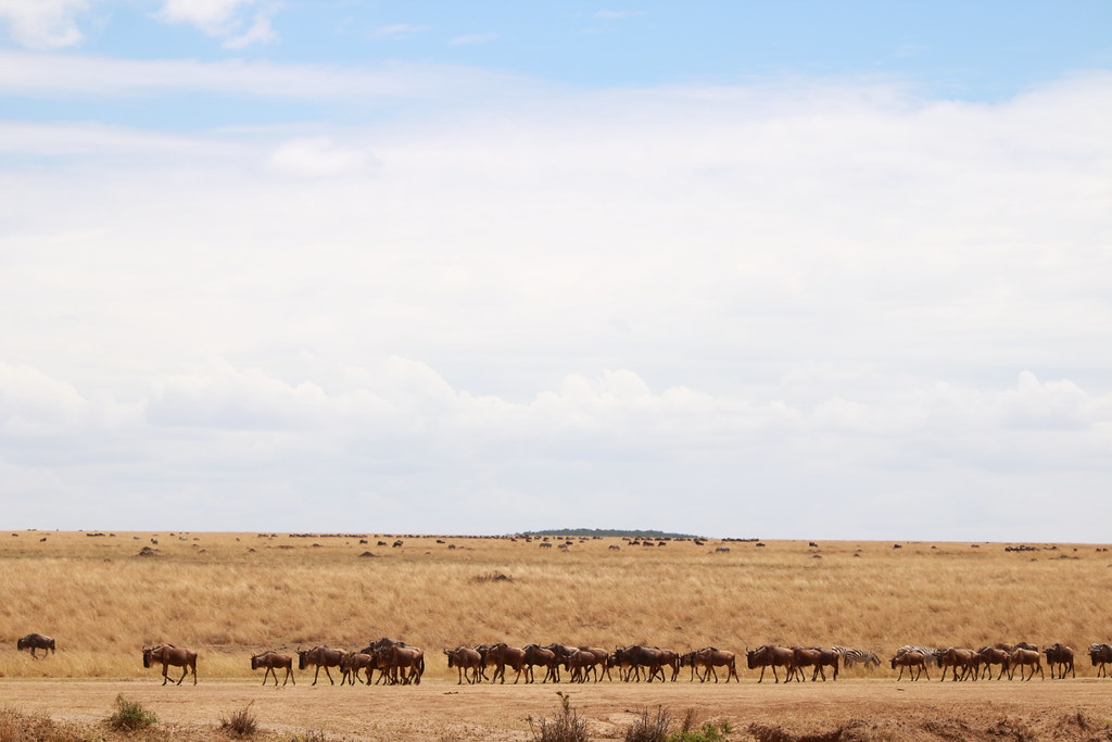 Wildebeest line up on the other side of the Mara