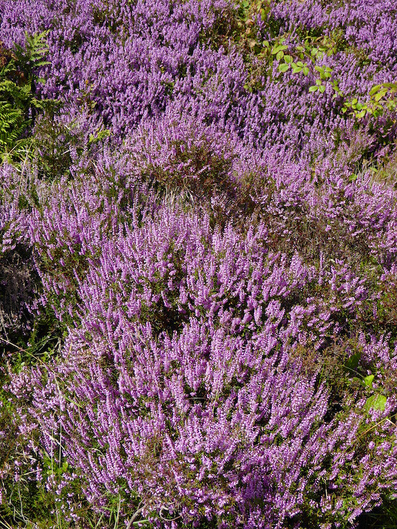Heather close-up Sheffield to Bamford walk