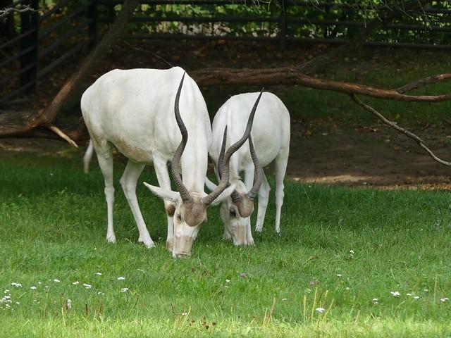 Mendesantilope, Zoo Prag
