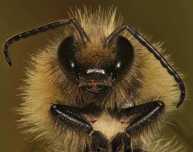 Common Carder Bee. Portrait.