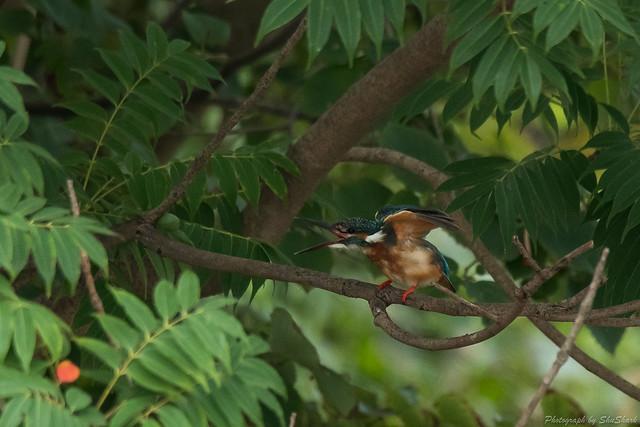 20170827-Kingfisher-DSC_1120