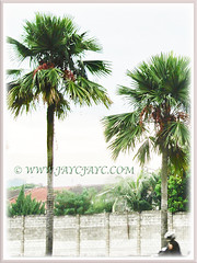 Saribus rotundifolius (Round-leaf Fountain Palm, Fan/Footstool Palm, Table Palm, Java Fan Palm, Anahaw Palm) is a solitary palm that can grow between 18-27 m tall, 3 Sept 2017