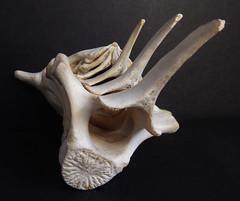Harbour Porpoise vertebrae