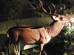Deer- the type of fauna found in the general area