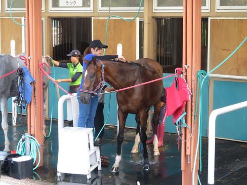 小倉競馬場の乗馬センターの馬房で体を洗われるサンライズベガ