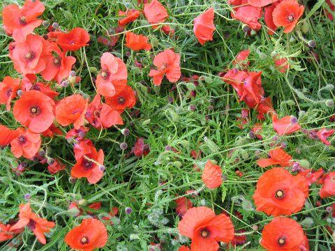 07 poppies
