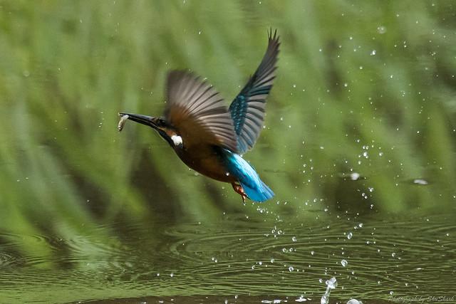 20170907-kingfisher-DSC_1998