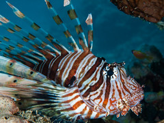 El Quseir Lionfish
