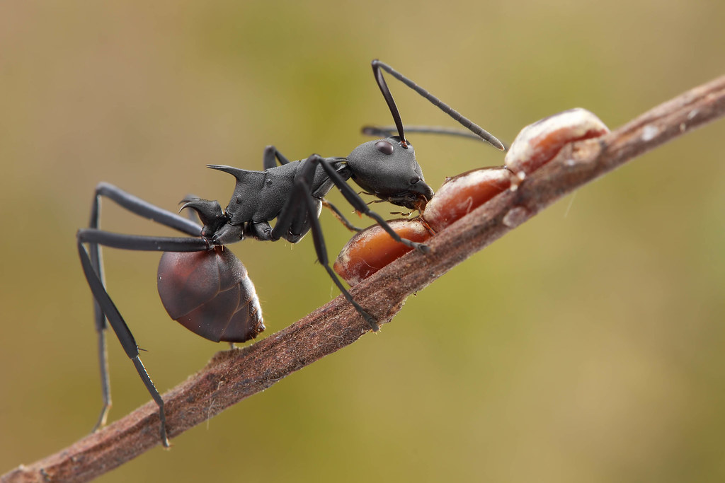IMG_3785 Polyrhachis sp. ant.