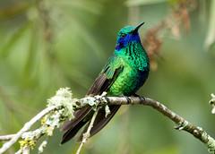 IMG_2063  Sparkling Violetear_hummingbird