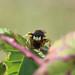 Bee Killer Wasp (Bee Wolf)