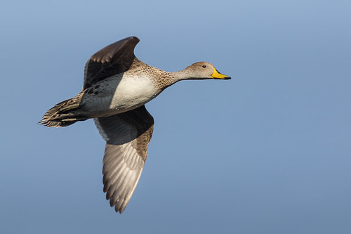 Pato Maicero - Anas georgica - Yellow-billed Pintail