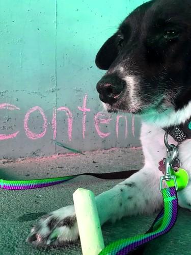Fred the dog chalking along the Santa Cruz River. Urban Poetry Pollinators