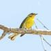 Prairie Warbler by Jeff Bray