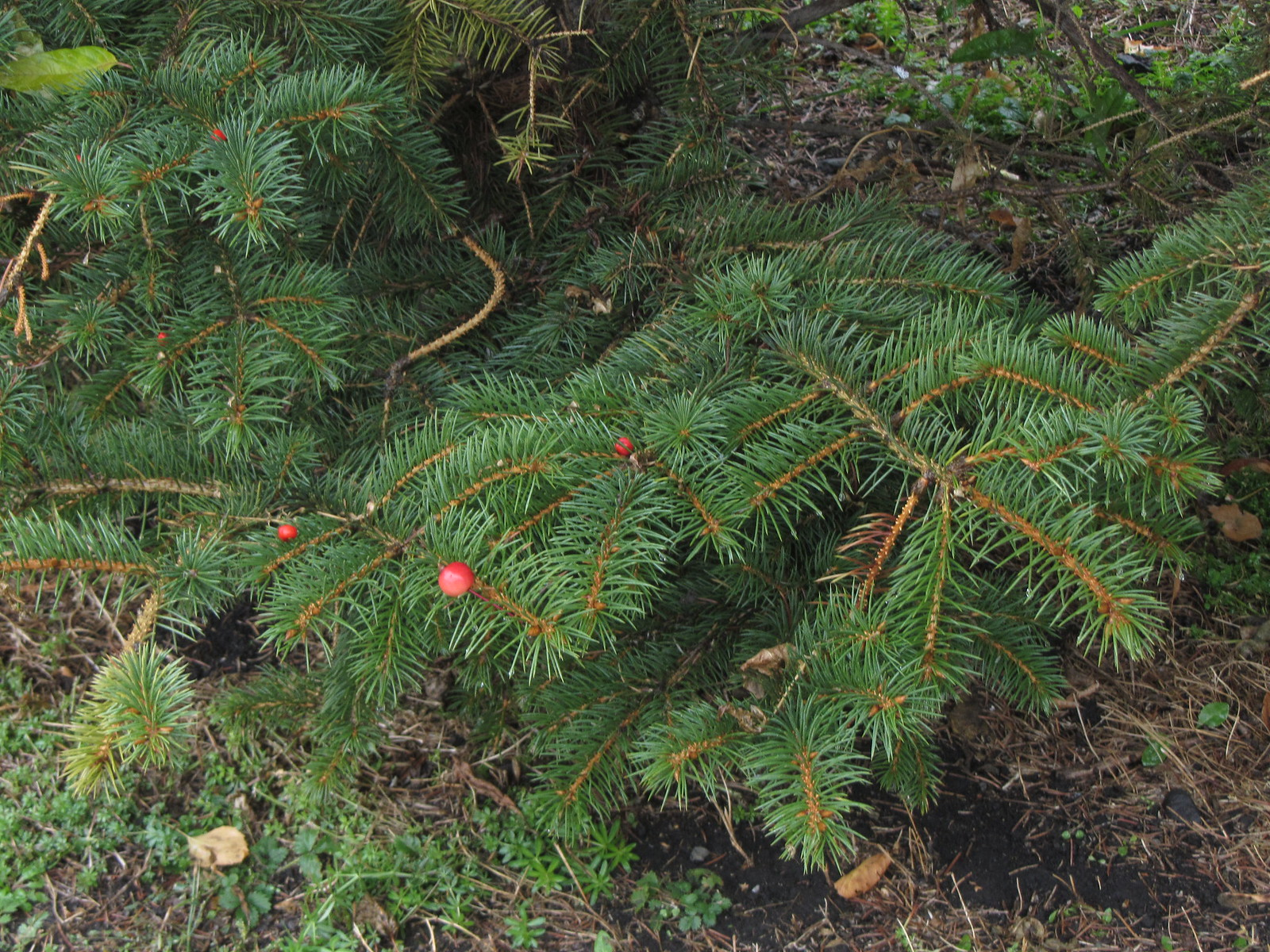 fir branches with berries or small apples on them